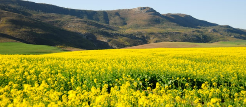 Canola along the Garden Route